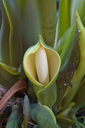 An exotic hooded flower