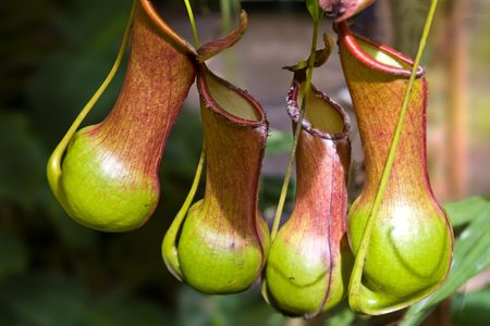 nepenthes: Nepenthes burkei is a lowland tropical pitcher plant native to the Philippines.  Stock Photo