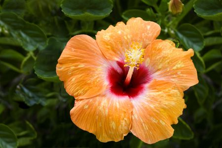 Beautiful orange speckled hibiscus with red throat.