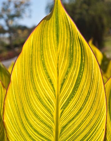 sola: Large variegated leaf, backlit by afternoon sun, at Palma Sola Botanical Gardens in Bradenton, Florida Stock Photo