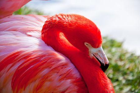 Close up of Florida Flamingo Stock Photo