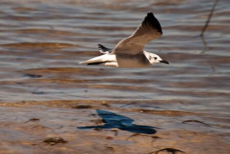 Seagull flying over water�s edge at a Florida beach showing sharp shadow of bird. photo