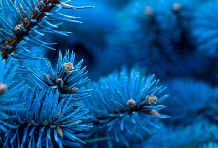 branches of blue spruce covered with morning frost on a blue natural background