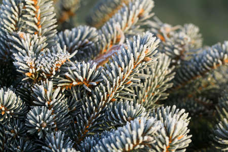 Branches of blue spruce covered with morning frost on natural background.