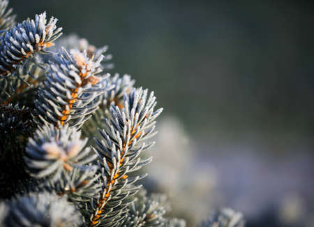 branches of blue spruce covered with morning frost on a natural background