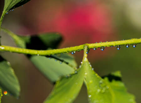Reflection in water droplets on young leaves of ginkgo biloba. Ginkgo tree (Ginkgo biloba), also known as the ginkgo or gingko.