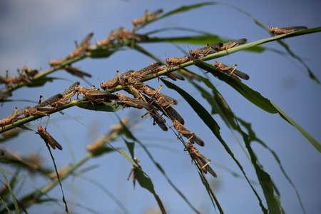 Criquets dans le delta de la Volga en juillet, Ravageur des cultures agricoles. Région d'Astrakhan, nature sauvage de la Russie Banque d'images - 97352415