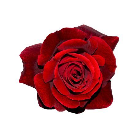 Kunstfoto-Rosenblätter isoliert auf dem weißen Hintergrund jedoch unscharf. Nahaufnahme. Für Design, Textur, Hintergrund. Natur.