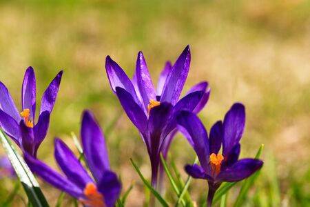 Crocus (plural: crocuses or croci) is a genus of flowering plants in the iris family. Flowers close-up on a blurred natural background. The first spring flower in the garden