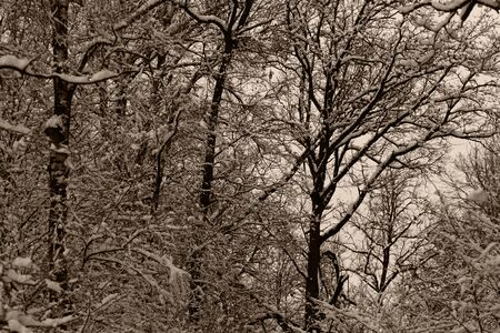 Closeup big flakes of snow on branch. Selective focus of Snowflake on tree during winter.Monochrome photography.