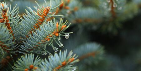 Young decorative blue spruce. Needles of blue spruce close-up. Texture. Natural blurred background. Image. Raindrops on the needles of a tree.  Banco de Imagens