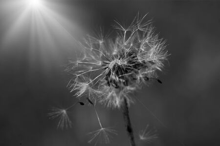 Art photo of dandelion seeds close up on natural blurred background. Summer Monochrome photography.