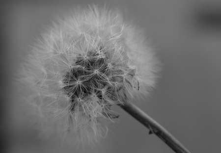 Art photo of dandelion seeds close up on natural blurred background. Summer. Monochrome photography.