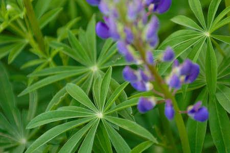 snapdragon: Flowers, Snapdragon in Town Garden