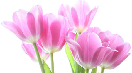 tenderly pink tulips on the white