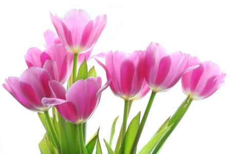 gentile pink tulips on the white background Stock Photo - 4751449