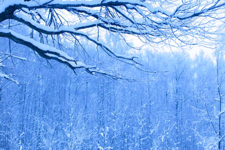 beautiful blue morning in snow wood photo