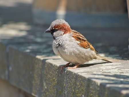 Single male House Sparrow sitting on the stone wall over the pond in the city park. Blurred background.