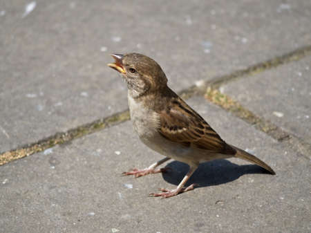 Singing female House Sparrow on the pavement in the city. Passer domesticus. Bird on the concrete sidewalk..