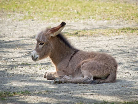 Side view on young baby donkey laying on the ground. Close-up on Equus africanus asinus.