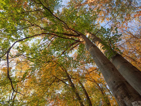Upward view on the colorful leaves against blue sky. Forest tree crowns in the autumn from low angle.