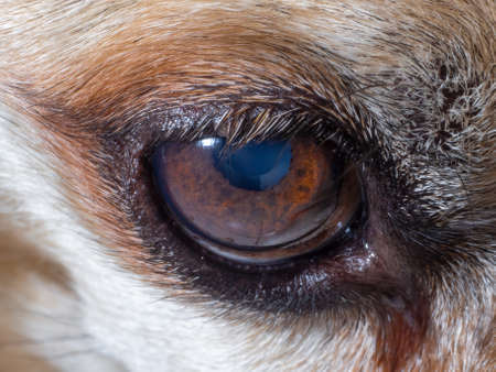 Close-up of the old dog's watery eye. Details of the brown eye with short lashes. Selective focus.