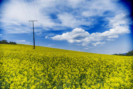 rappi: Raps field on a sunny day in German countryside Stock Photo