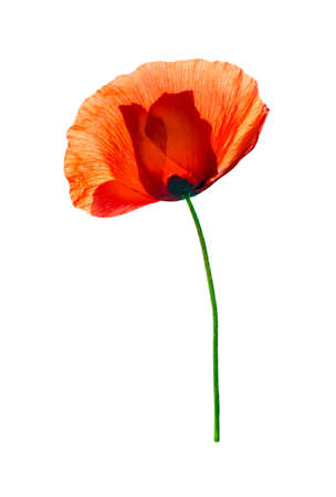 pestil: Red field poppy (Papaver rhoeas) isolated on white background