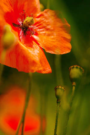 pestil: Vibrant red poppy flower in the meadow