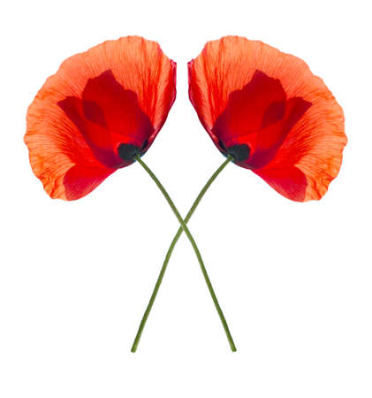 pestil: Two red field poppies isolated on white backgound
