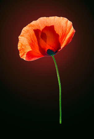 pestil: Red field poppy on dark red-brown background