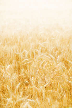 Ripening golden wheat on the sunset background photo