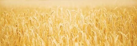 Ripening golden wheat field on the sunset panorama