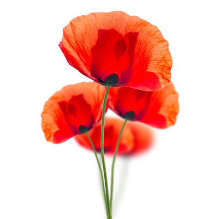 pestil:  Red field poppies (Papaver rhoeas) isolated on white background Stock Photo