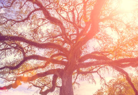 old tree: Southern live oak tree with widely spread branches, dreamy vintage toning applied