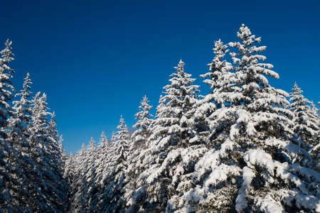 winter vacation background with pine trees covered by heavy snow against blue sky with copy space
