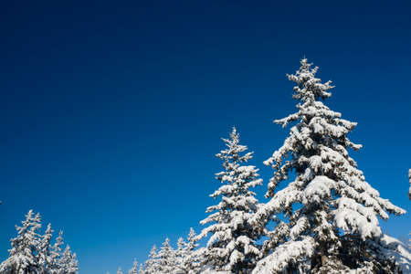 Beautiful wintertime background. Fantastic fluffy Christmas trees in the snow. Postcard with tall pine, blue sky and snowdrift. Winter landscape in the sunny day. New Year scenery.