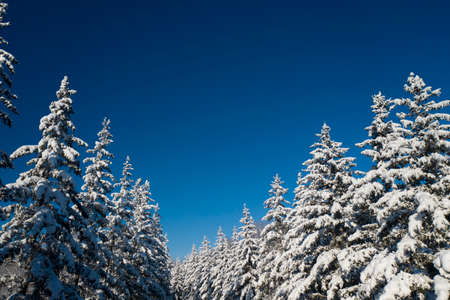 winter vacation background with pine trees covered by heavy snow against blue sky with copy space. Banque d'images