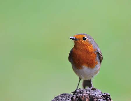 robins: Robin
