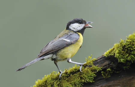 calved: great tit with a peanut in his beak.