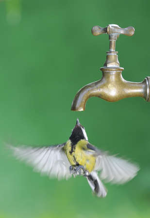 calved: Bird in flight a tap for drinking water. Stock Photo