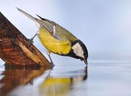 calved: Bird drinking water.