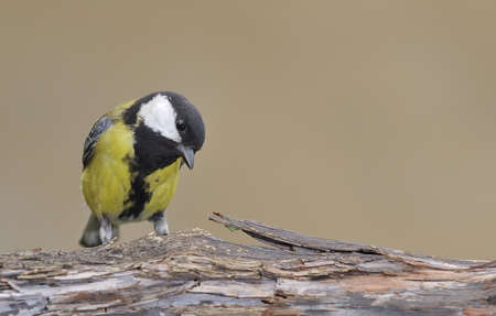 farrowed: Great tit.