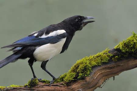 the magpie: magpie.