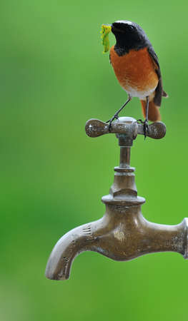 water quality: redstart, with caterpillar in its beak. Stock Photo