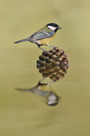 calved: bird on a pine cone in the water. Stock Photo