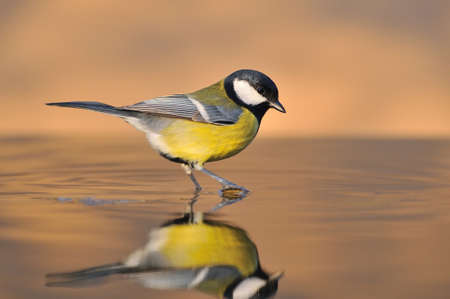 farrowed: great tit in the water. Stock Photo