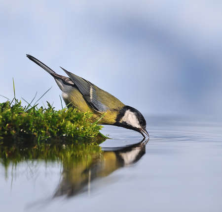 water ecosystem: great tit drinking water.