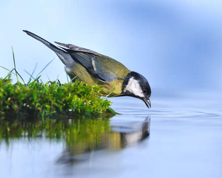 great tit drinking water.
