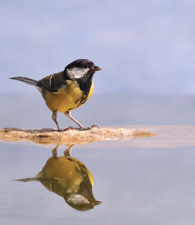 farrowed: Great tit reflected in the water.